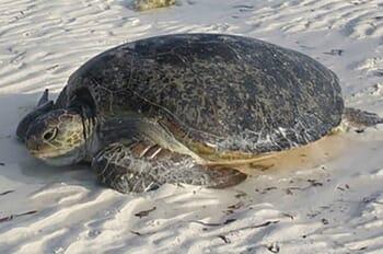 Sea turtle Constance Lemuria