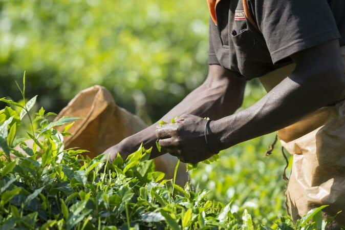 Bwindi tea tour