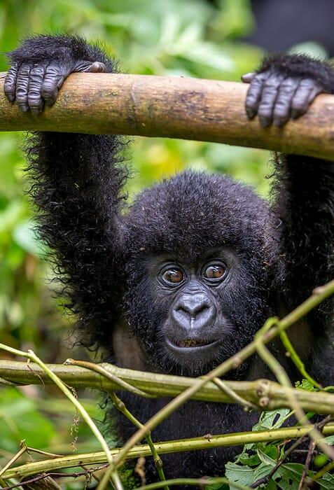 baby-gorilla-portrait-scaled.jpg?w=477&h=700&scale