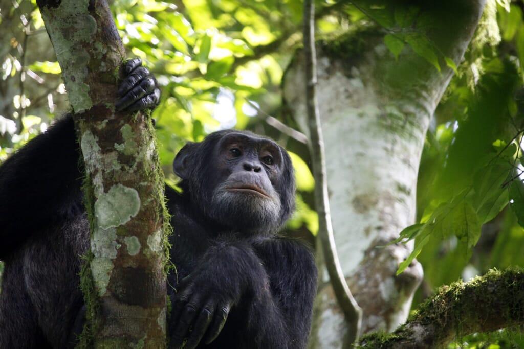 Kibale National Park chimpanzee tree Uganda safari