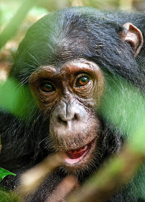 chimpanzee-potrait.jpg?w=501&h=700&scale
