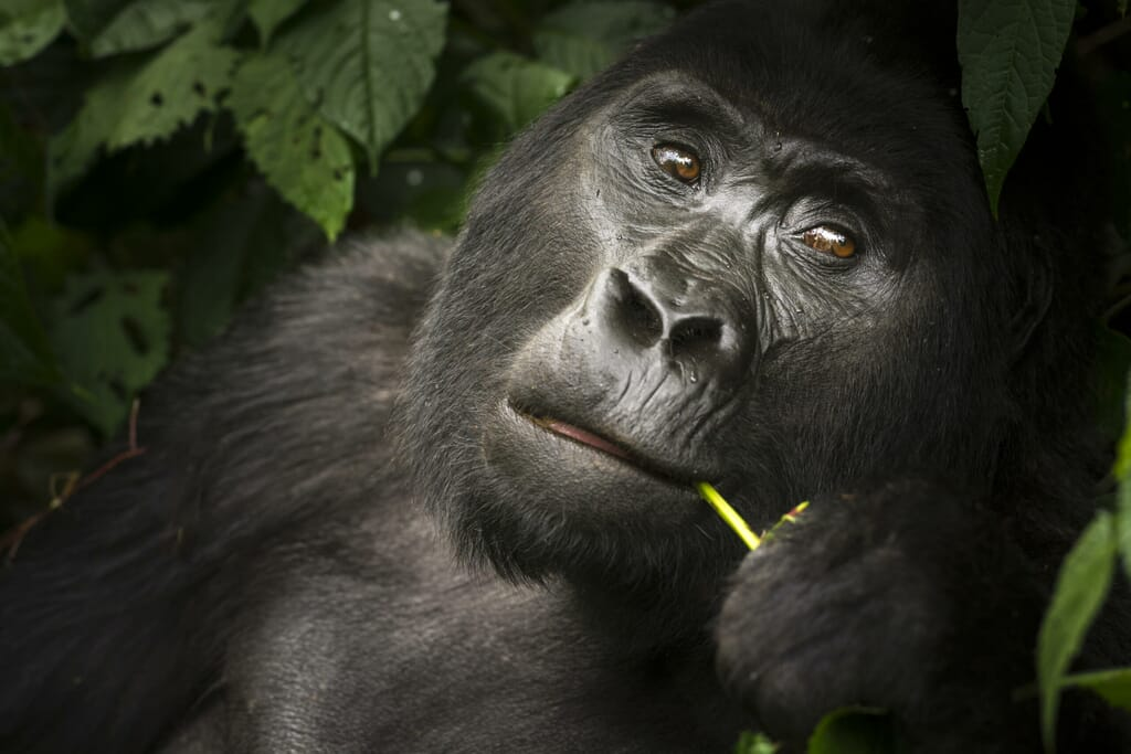 gorilla_image_roger_delh_-_high_res_indaba_2017-scaled.jpg?w=1024&h=683&scale