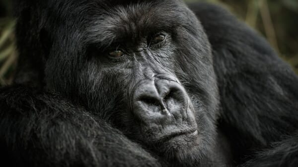 Bwindi Impenetrable Forest silverback gorilla Uganda safari