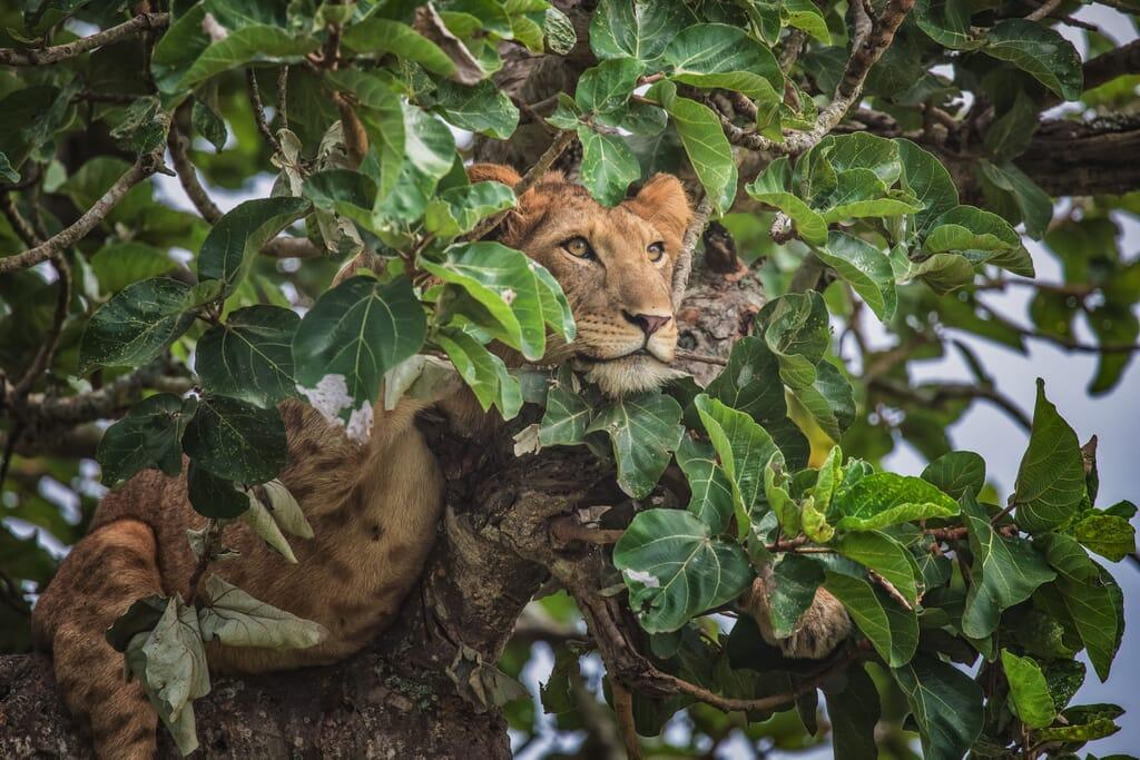 Queen Elizabeth National Park lion tree Uganda safari