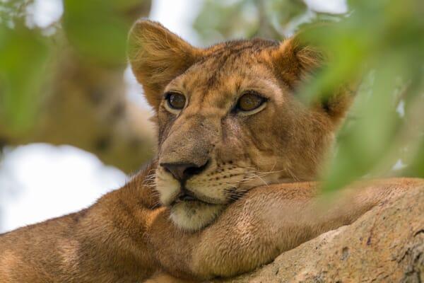 Queen Elizabeth National Park lion tree Uganda luxury safaris