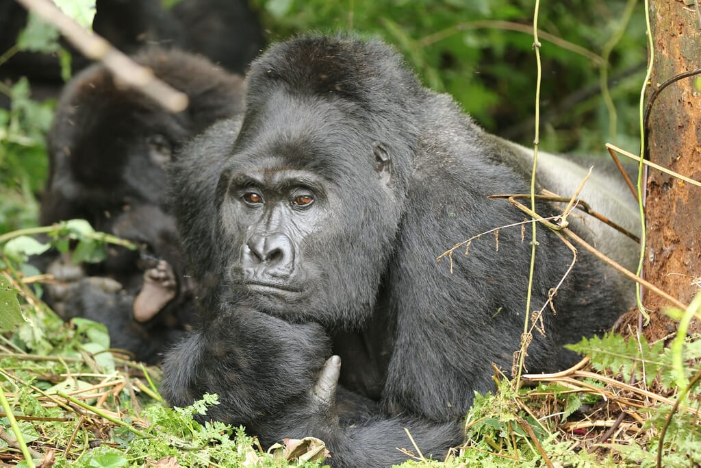 Silverback gorilla Bwindi Uganda