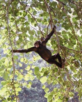 Kyambura Gorge chimpanzee