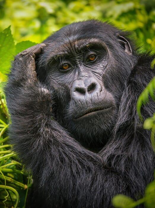 Gorilla Trekking safari Uganda Rwanda luxury safaris