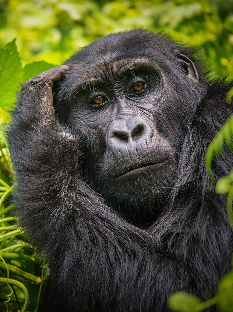 gorilla-portrait.jpg?w=765&h=1024&scale