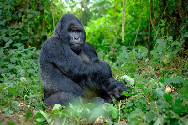 Gorilla silverback Bwindi