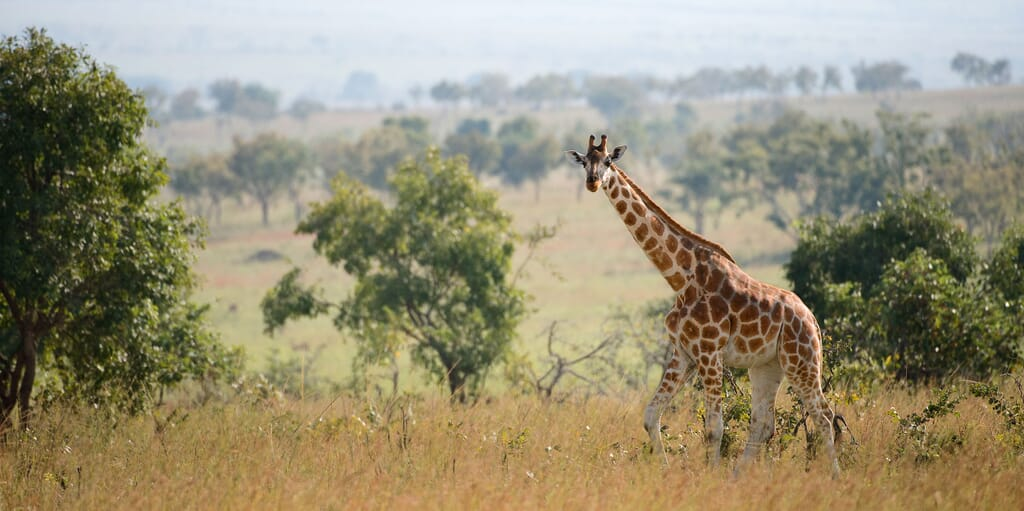 Queen Elizabeth National Park Uganda giraffe luxury