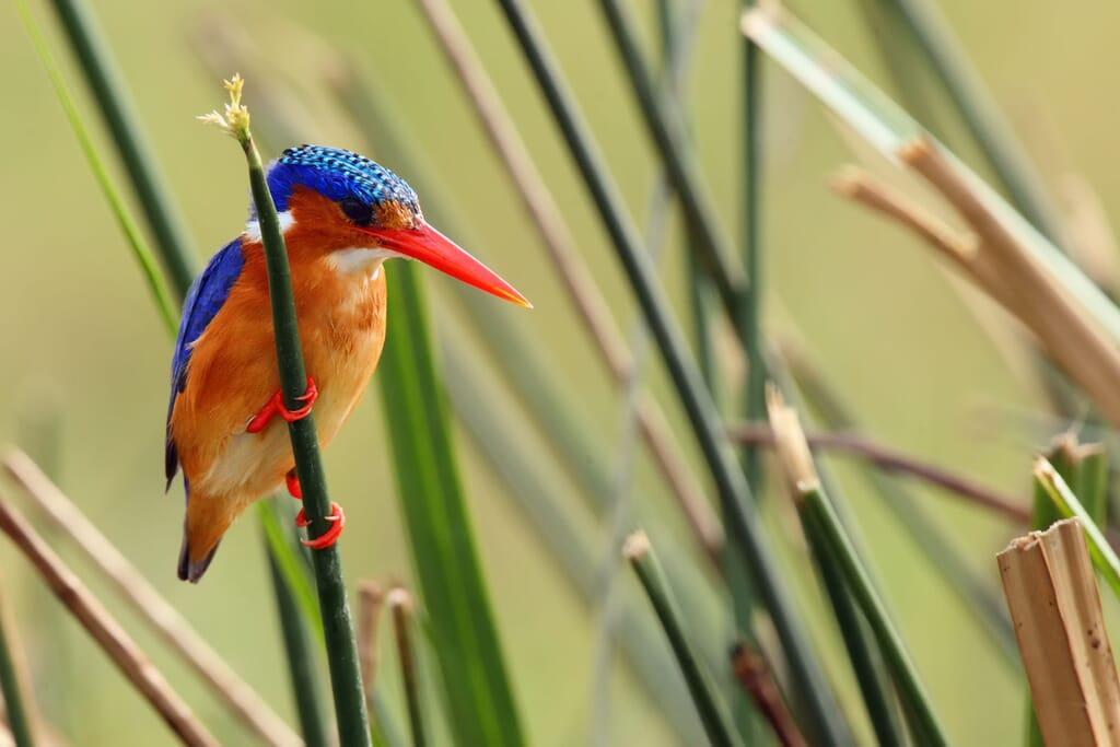 Queen Elizabeth National Park Uganda kingfisher