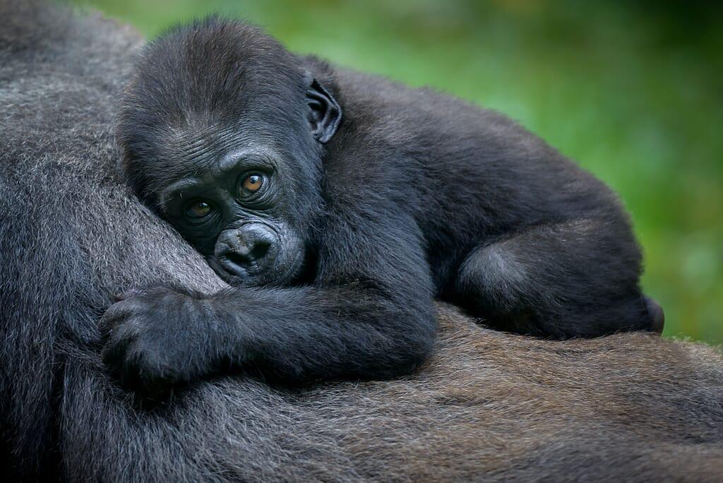 Gorilla trekking Uganda Rwanda
