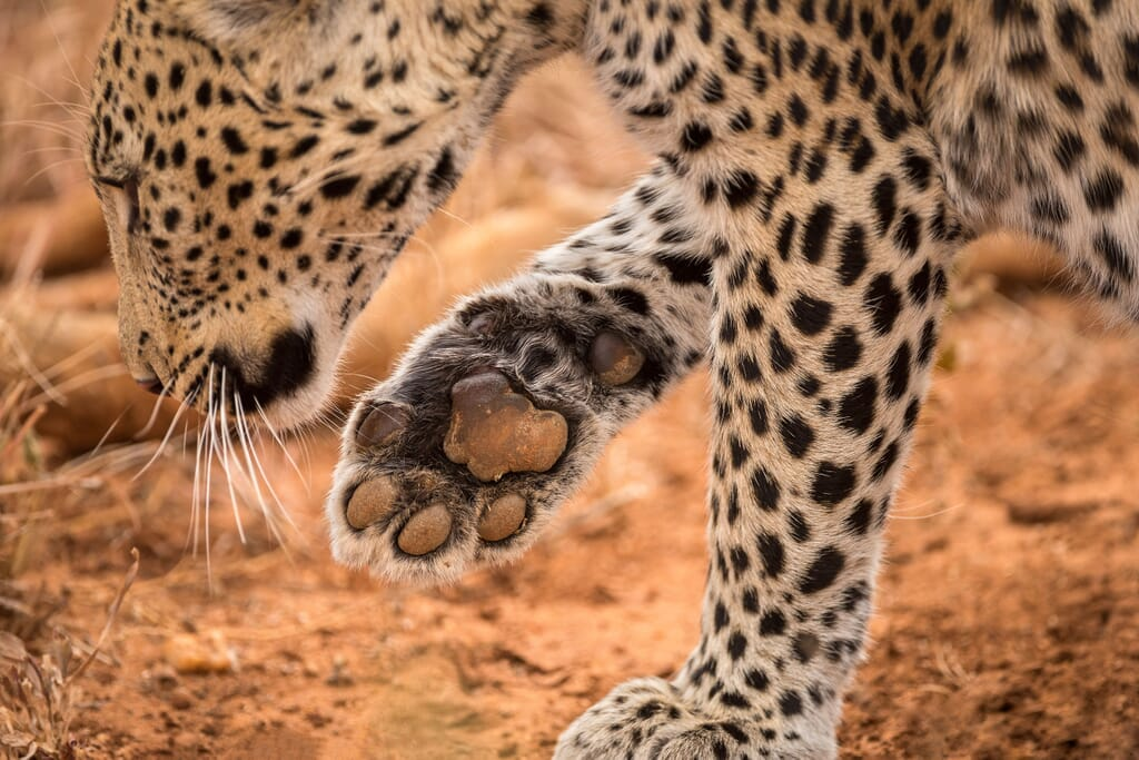 South Africa family safari holiday Madikwe Game Reserve LEOPARD