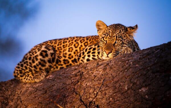 South Africa family safari holiday Kruger Sabi Sands leopard
