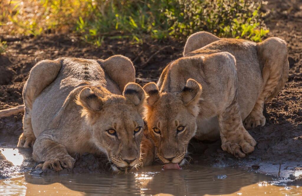 South Africa family safari holiday Madikwe Game Reserve lion
